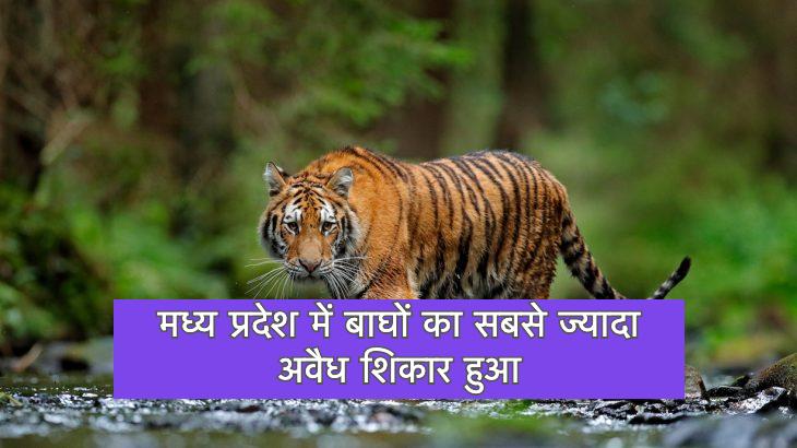 मध्य प्रदेश में बाघों का सबसे ज्यादा अवैध शिकार हुआ