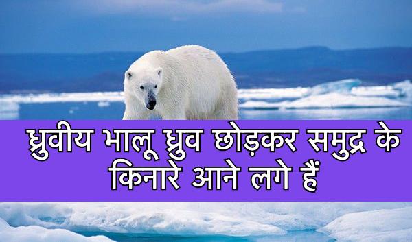 ध्रुवीय भालू ध्रुव छोड़कर समुद्र के किनारे आने लगे हैं