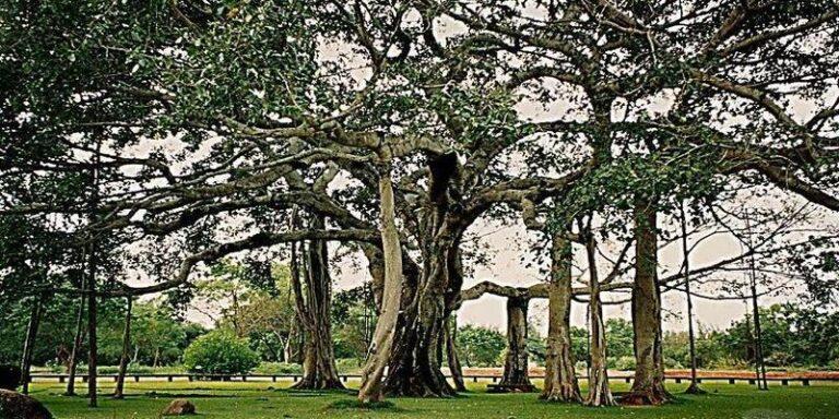 यहां बरगद का सिर्फ एक पेड़ पूरे जंगल के बराबर है !