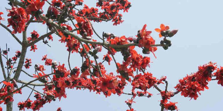 आइये जाने सिल्क कॉटन अर्थात सेमल के पेड़ का औषधीय गुण के बारे