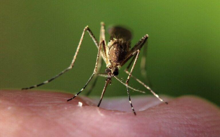 कैसे मच्छरों ने ही एक शहर में डेंगू फैलाने वाले मच्छरों को रोका
