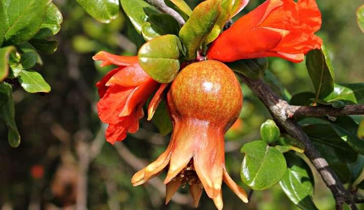 ब्लड शुगर कंट्रोल में नहीं है तो ऐसे करें अनार के फूलों का सेवन